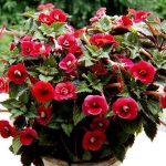 Фото 19: ахименес с красными цветками