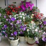 Фото 27: выращивание ахименесов в домашних условиях