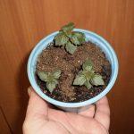 Фото 37: особенности выращивания ахименесов в домашни условиях
