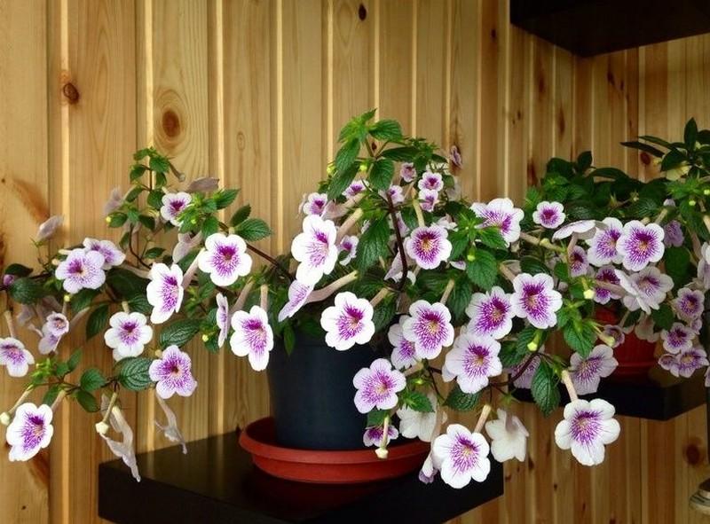 цветущие ахименесы