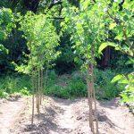 Фото 53: Выращивание шелковицы