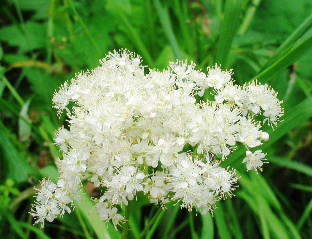 Лабазник - вязовая трава с медовым ароматом