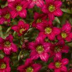 Фото 51: Ярко розовая камнеломка