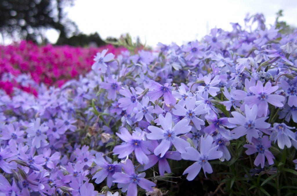 Многолетние цветение шиловидного флокса