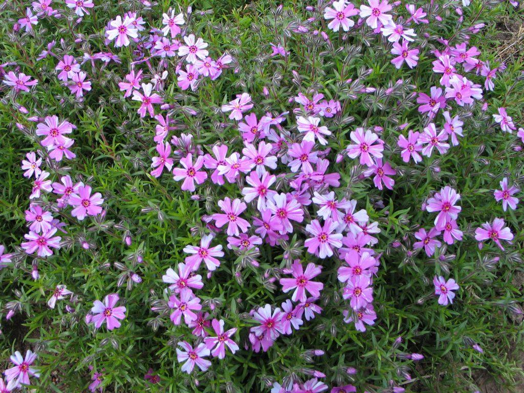 Декоративное соцветие шиловидного флокса