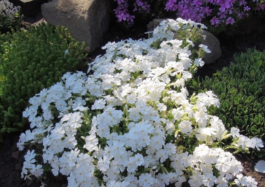 Особенности выращивания шиловидных флоксов