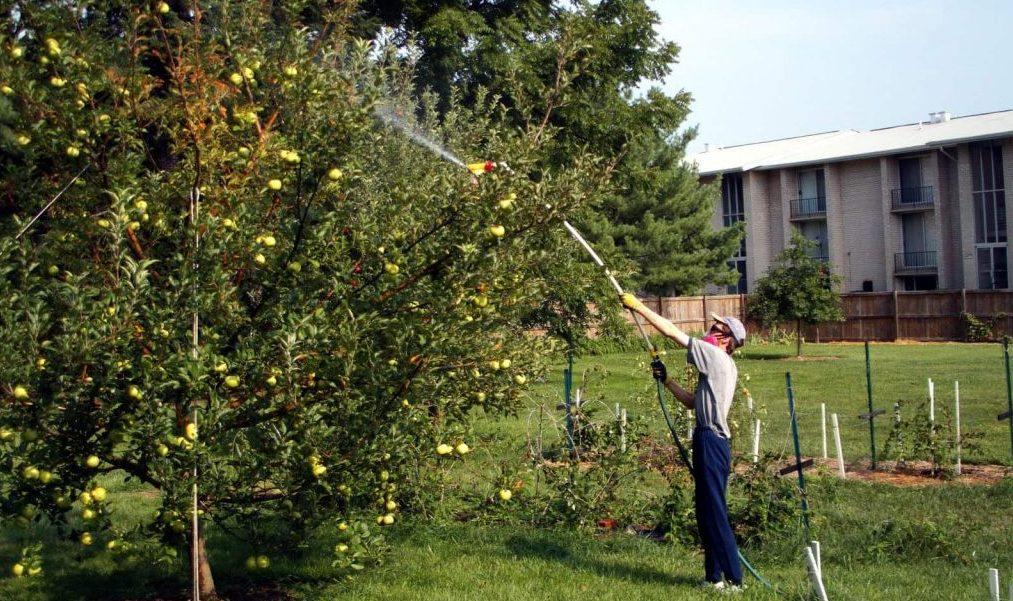 Опрыскивание химическими веществами - спасаем яблоню