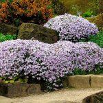 Фото 5: Цветущие флоксы огибают камни
