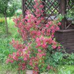Фото 5: Цветущая вейгела у беседки