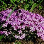 Фото 1: Многолетние цветение флокса