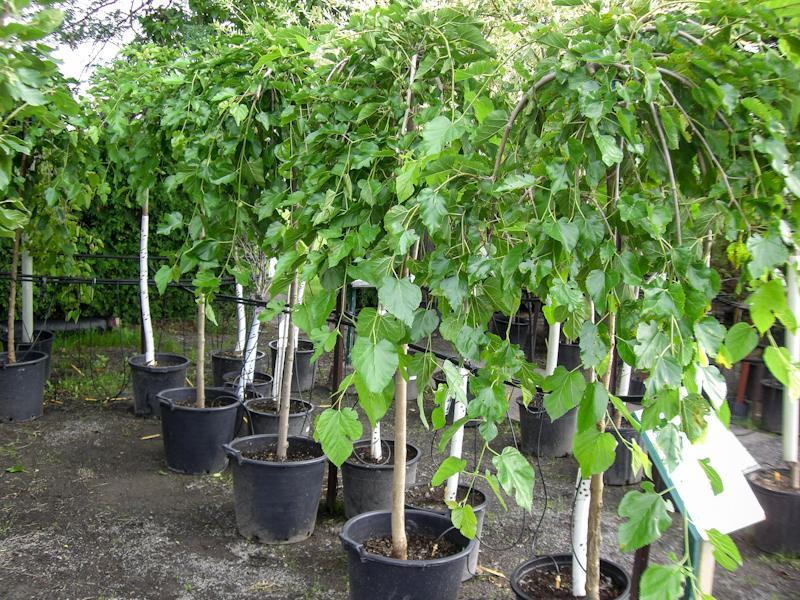Выращивание плакучей шелковицы