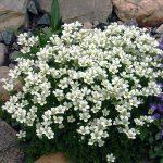Фото 2: Белая маленькая камнеломка