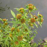 Фото 53: Травянистое растение