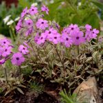 Фото 20: Соцветие многолетнего флокса