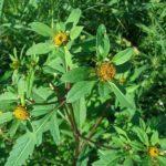 Фото 52: Полезные свойства растения