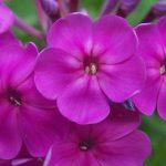 Фото 9: Фиолетовые цветы