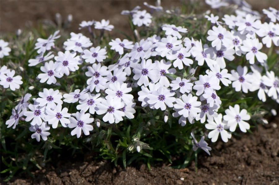 Нежные маленькие цветы флоксы