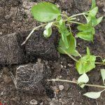 Фото 2: Высаживаем рассаду базилика