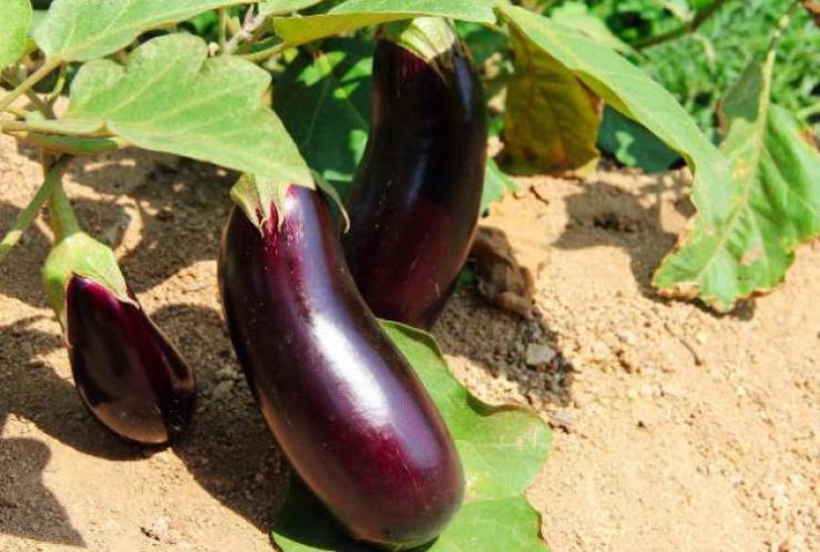 Выращенные баклажаны на открытом грунте