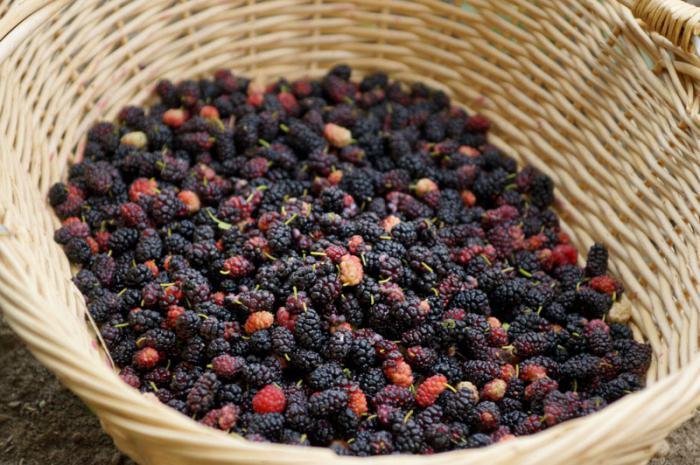 Урожай плодов шелковицы