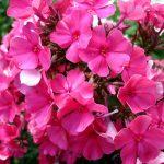 Фото 11: Красные многолетние флоксы