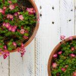 Фото 12: Розовая камнеломка в горшках