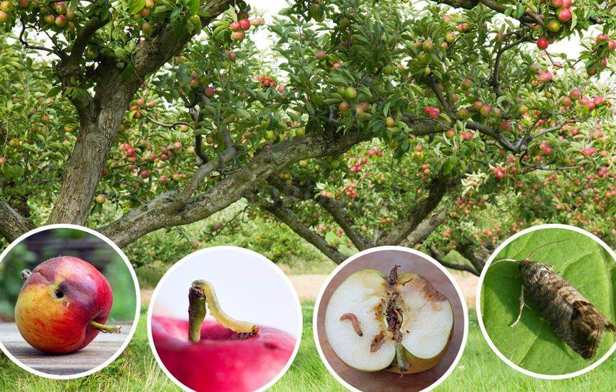 Как вредит плодожорка яблоне и плодам