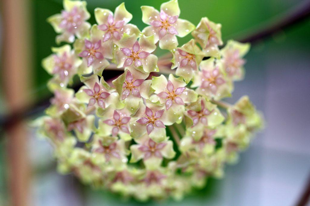 Лиана - прекрасный восковой цветок
