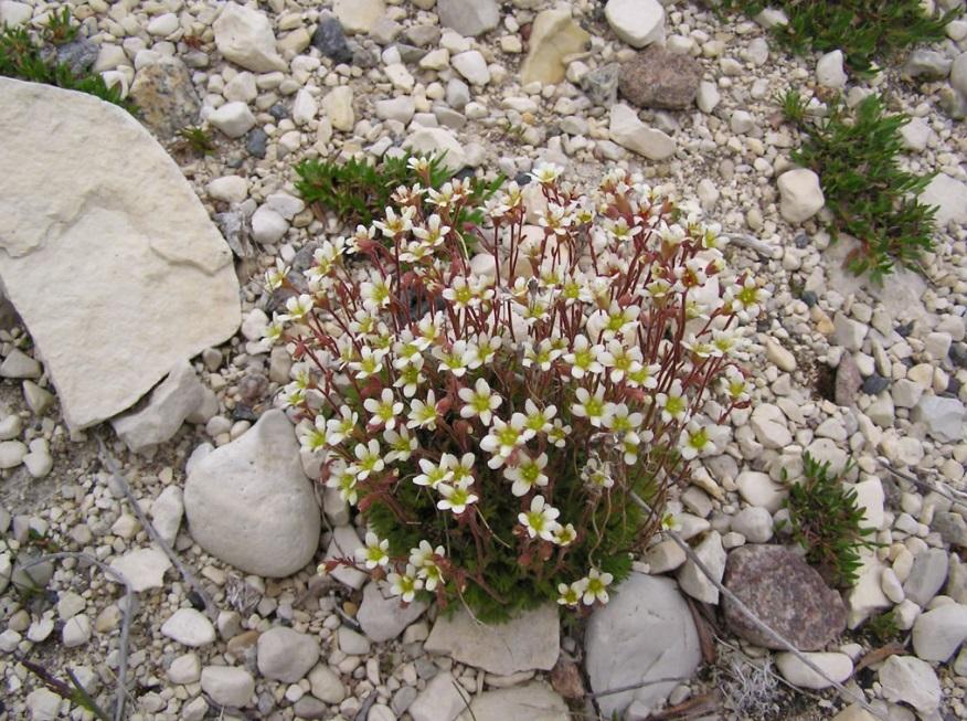 Уход и полив растения камнеломки