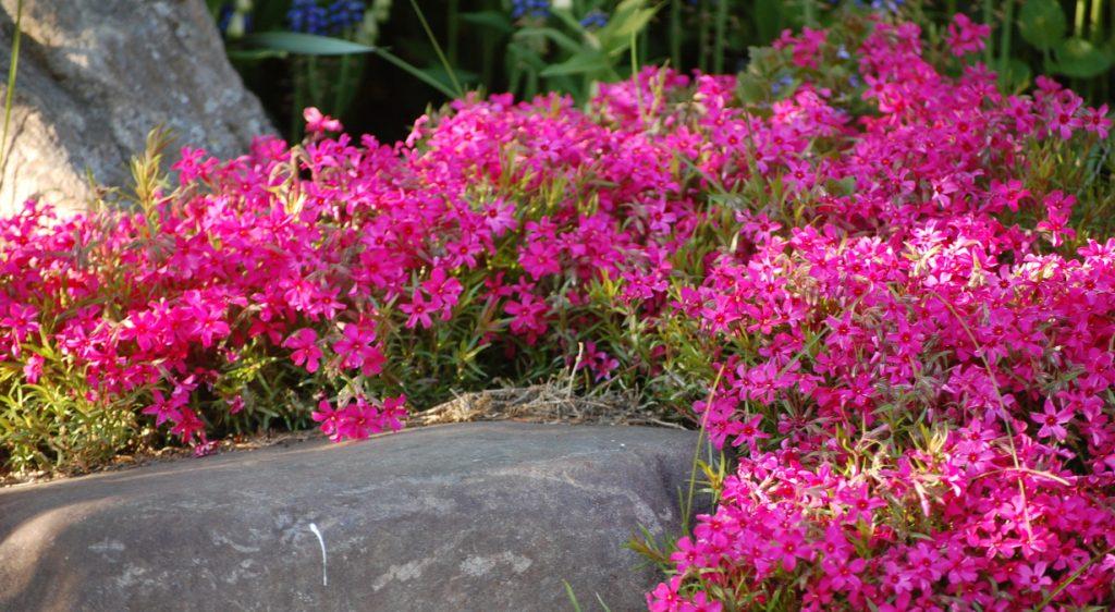 Ярко розовые шиловидные флоксы