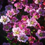 Фото 60: Камнеломка розовая