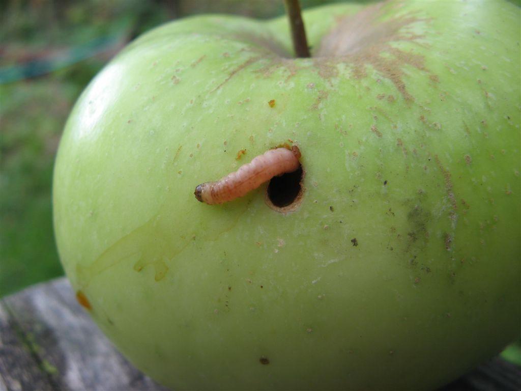 Гусеница плодожорка