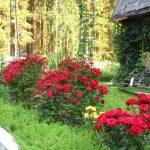 Фото 65: Розы на дачном участке