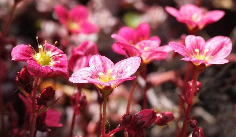 Яркий цветок камнеломка