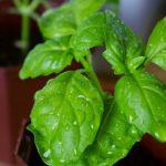 Фото 19: Растет зеленый базилик