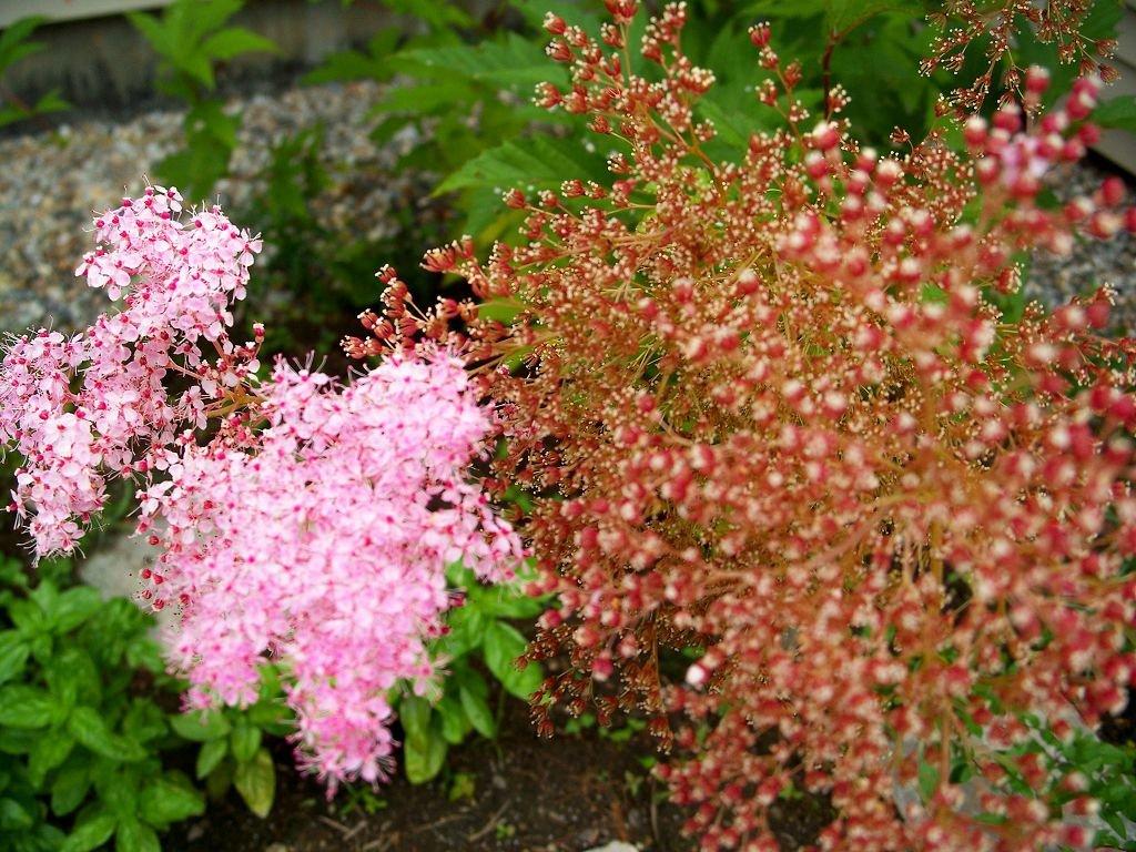 Розовое соцветие лабазника