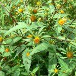 Фото 25: Полезная травянистое растение