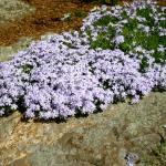 Фото 38: Прекрасное цветение шиловидного флокса