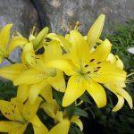 Фото 28: Азиатская желтая лилия