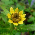Фото 41: Лекарственное растение
