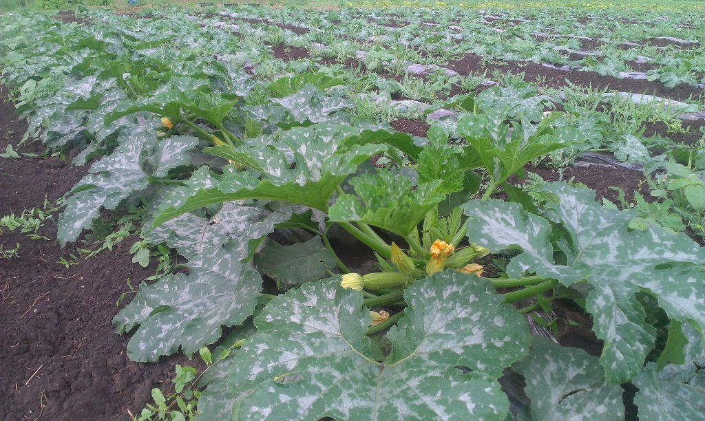 Выращивание кабачков на открытом грунте