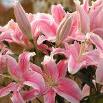 Фото 65: розовый оттенок цветов