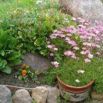 Фото 39: Уход за цветком камнеломка