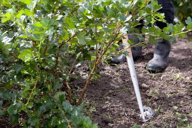 Уход за крыжовником - очищаем почву от сорняков