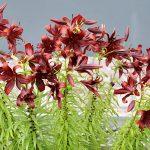 Фото 37: высокие темные лилии