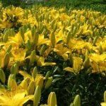 Фото 60: желтые лилии в саду