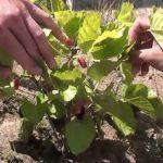 Фото 33: Рассмотрим плоды