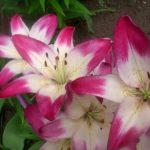 Фото 47: двухцветная лилия