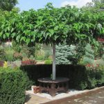 Фото 35: Ухоженной тутово дерево