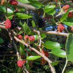 Фото 37: Как выглядят плоды дерева